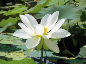 Теплолюбивые водные растения, такие как кувшинки или нимфеи на зиму перемещают в теплое обогреваемое помещение.